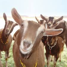 Milking Goats are Curious