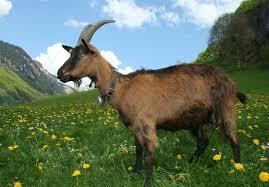 Milking Goat in Field