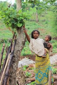 Harvesting from the Food Forest in India