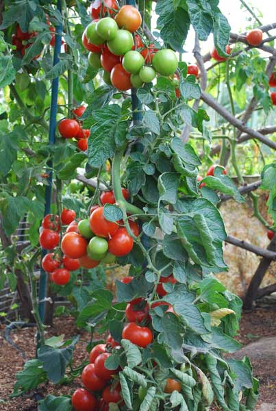 1 and 2 Main Stems Heirloom Tomato Plants