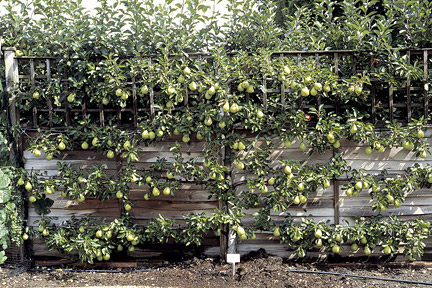Trellised Pear Trees in Garden