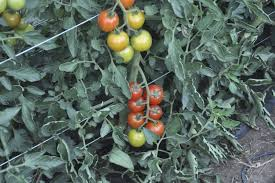 Choosing Determinate Heirloom Tomato Seeds