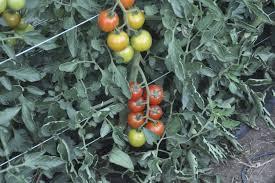 Choosing Determinate Heirloom Tomato Seeds