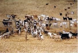 Milk Goat Herd