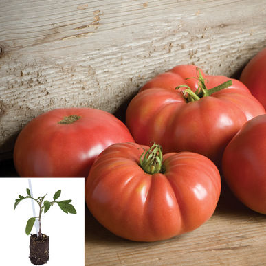 Best Heirloom Tomatoes Grafted
