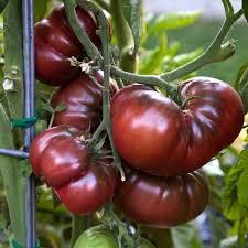 Purple Heirloom Tomatoes