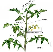 Diagram of Heirloom Tomato Plants