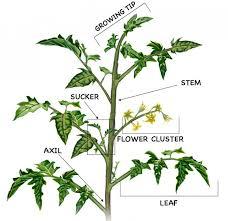 Diagram of Heirloom Tomato Plants